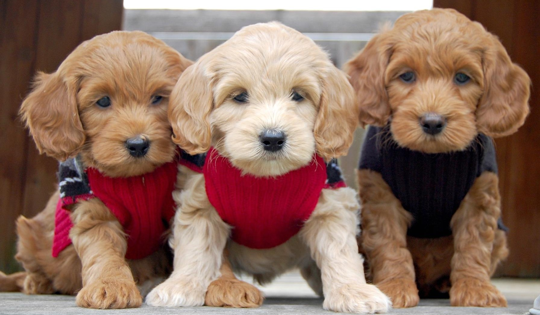 Home | Crossfield Doodles Down South | Labradoodle puppies